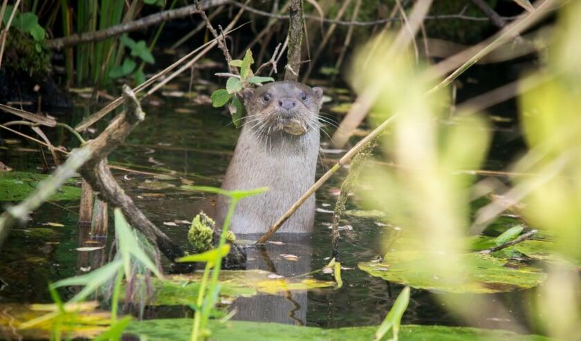 Na halve eeuw weer jonge otter geboren in Naardermeer