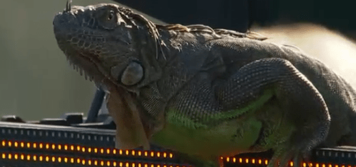 [Vídeo e fotos] Encontro em Miami suspenso… por invasão de uma iguana
