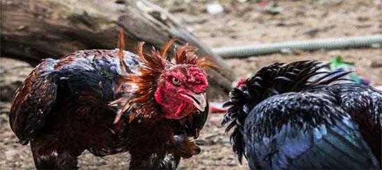 Ciri Ayam Bangkok Asli Pembunuh Mematikan