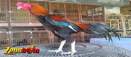 Ayam Bangkok Dengan Ciri Fisik Mematikan