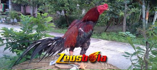 Jenis Katuranggan Ayam Bangkok Aduan Mematikan