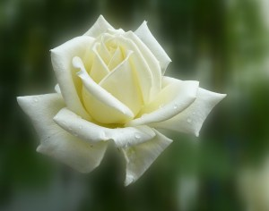 Solitary white rose