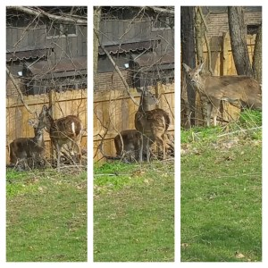 Collage of three images of several deer.