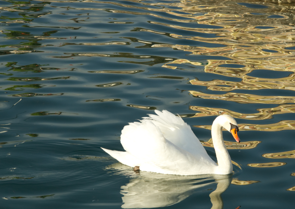 Resized 2 swan swiming in lake garda italy march 2018
