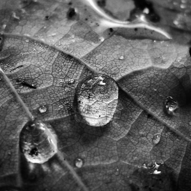 Resized BW Closeup water droplets on a leaf