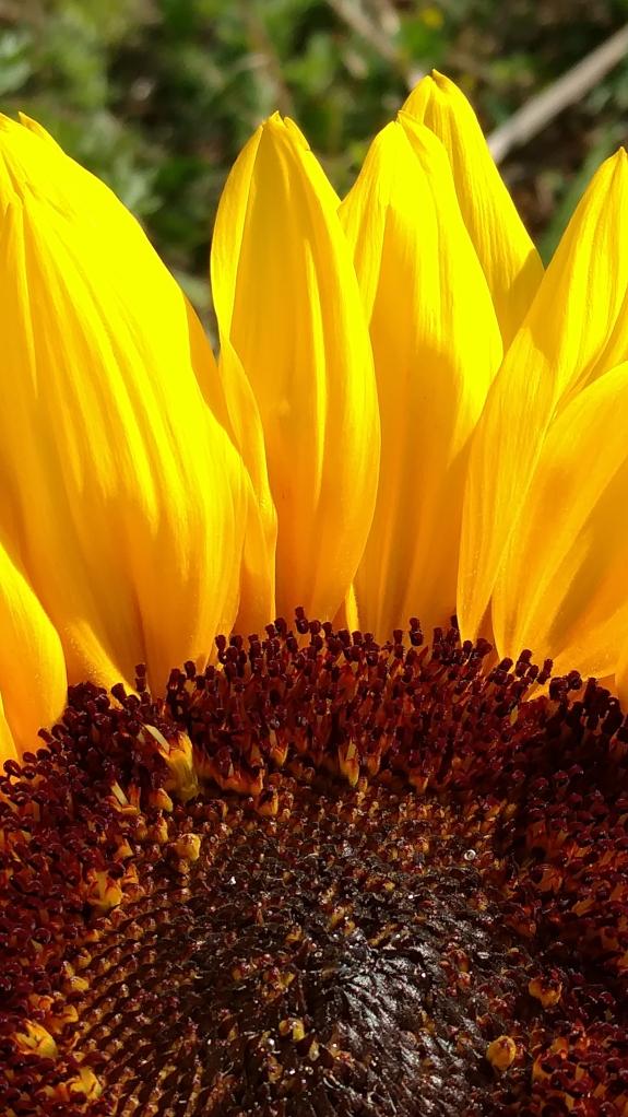 Resized Sunflower