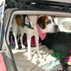 Extra large harness on St. Bernard in a vehicle