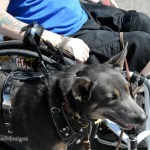 WC Pulling Harness Prototype on Jessie with Rob 2504 - Service Dogs in Action
