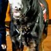 Service Dog Cape/Vest