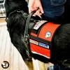 EWH large with Cape Vest Medium 0147 - Service Dog Cape/Vest