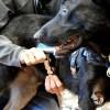 metal quick release buckle 4721s - Service Dog Cape/Vest
