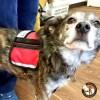 small vest on 30 pound dog 3126 - Service Dog Cape/Vest