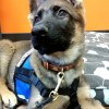 small vest with chest strap on 12 week old GSD puppy 513 - Service Dog Cape/Vest