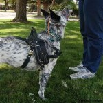 bah blizzard - Service Dogs in Action