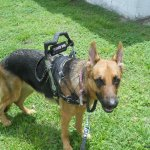 blaze im all set to go - Service Dogs in Action