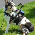 copy 0 billy azevedo sitting - Service Dogs in Action