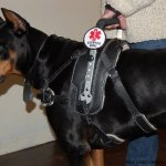 copy 0 msh chobe - Service Dogs in Action