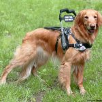 guide handle on bradly bossolli 2 - Service Dogs in Action