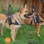 hazel and cora in harnesses 2012 - Service Dogs in Action