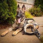 mahler short nguyen pup with harness25191412 - Service Dogs in Action