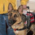 medina eva msh cape banner badge - Service Dogs in Action