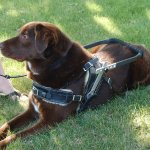 msh simon coco folded - Service Dogs in Action