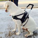 rispoli sitting - Service Dogs in Action