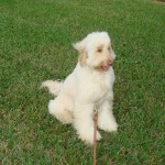 sally hauts labradoodle - Happy Customers