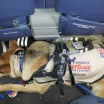 thunder under plane seat with harness handle folded down - Service Dogs in Action