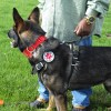 Service Dog CAPTAIN in BLD Track Agi harness 2750 - Tracking / Agitation Harness for working dogs (padded, 2-latch, heavy-duty leather)