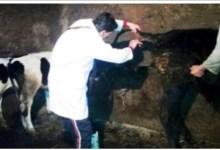 Photo of تحصين 70 ألف رأس ماشية ضد الأمراض الوبائية بالبحيرة