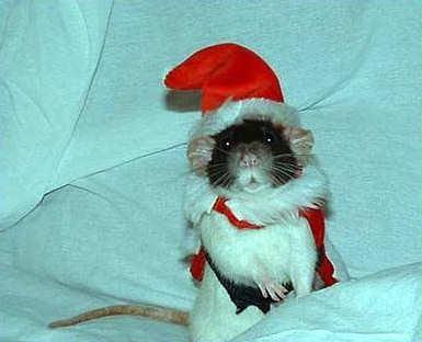 Carla in a Rat Santa Hat