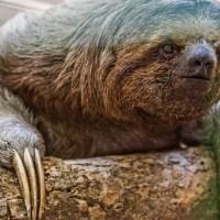 Sloth: Living Slowly and Happily *** Leniwiec: (po)wolny i szczęśliwy zwierz