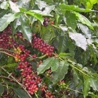 Bolivian coffee production 101