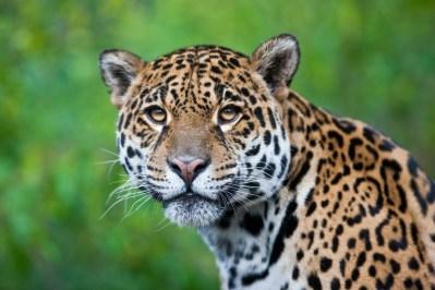 Jaguaren lever både i regnskov og tørskov