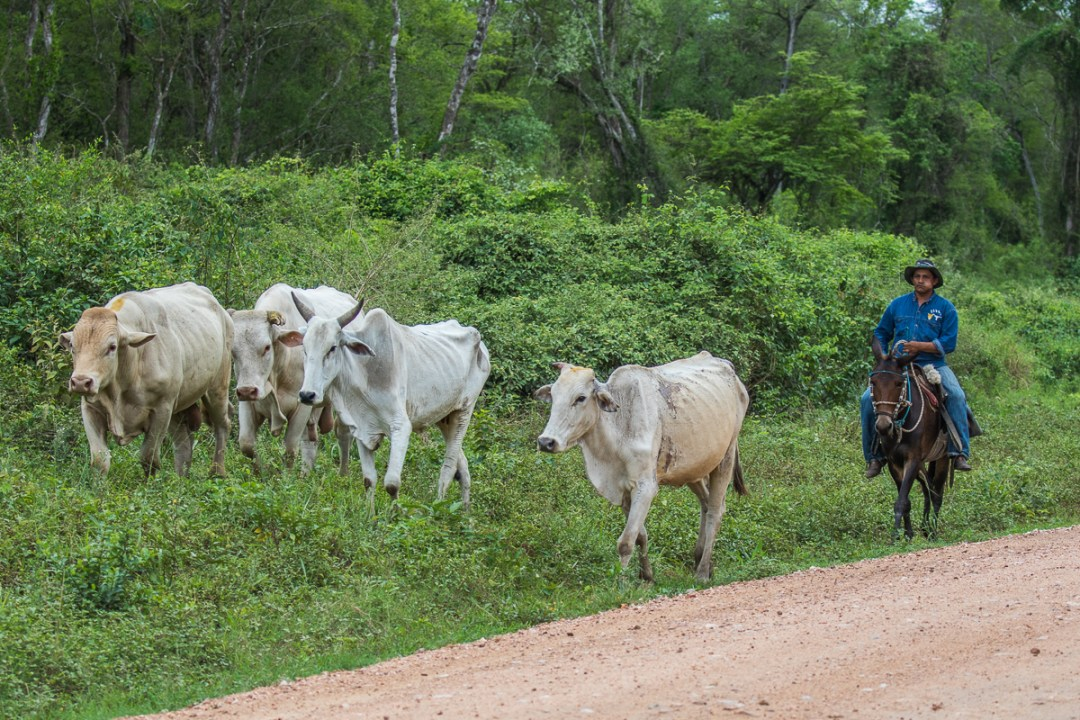 Kvæget drives hjem fra skoven. Foto Henrik Egede-Lassen