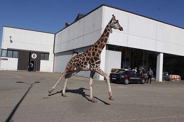 Imola, il dramma della giraffa morta dopo la fuga in città