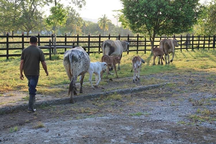 vacas pasto finca
