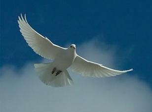 white-dove-forgiveness