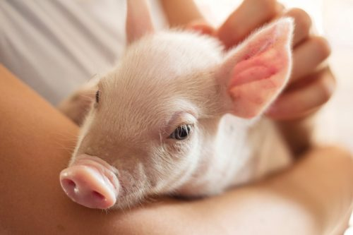 memelihara babi