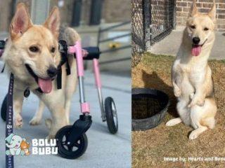 anjing menggunakan kursi roda