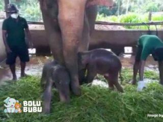bayi gajah kembar