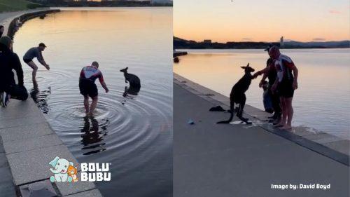 kanguru mengajak manusia bersalaman