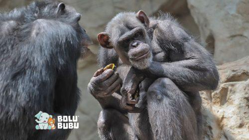 simpanse beradaptasi dari perubahan iklim