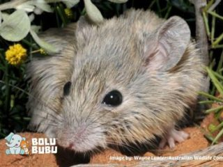 tikus gould