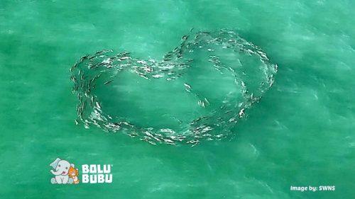 ikan berenang membentuk hati