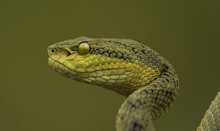 Pit Viper looking for its prey