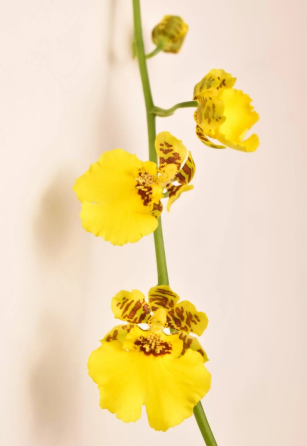 Oncidium Peacock
