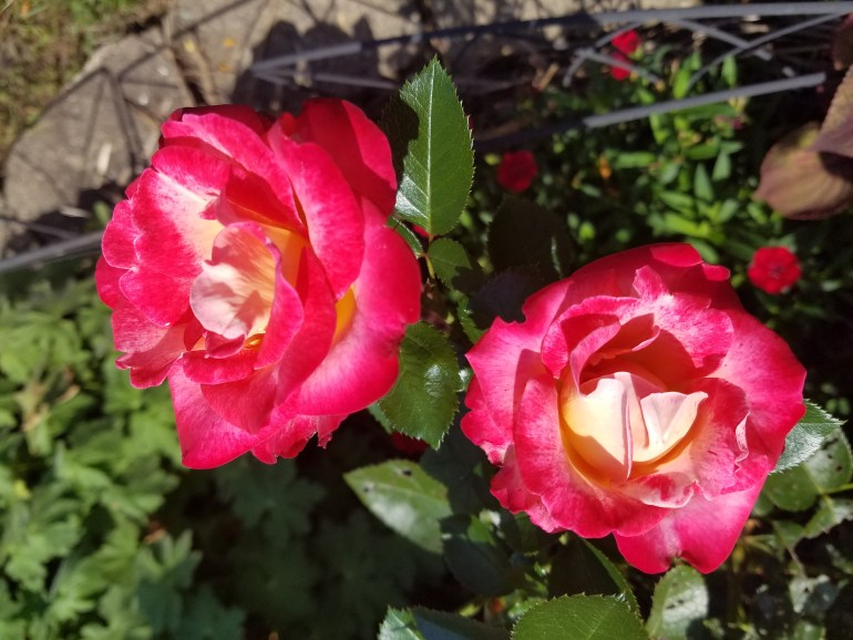 Dick Clark Rose (Image courtesy of Dawn Marie)