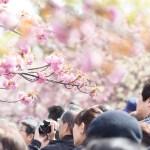 [京都の花見2017]円山公園の場所取りや屋台情報は?利用時間もチェック